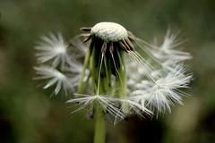 Dance me to the End of Love (ursulamller900) Tags: macro dandelion lwenzahn extensiontubes makroringe