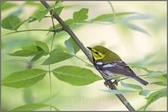black-throated green warbler (Christian Hunold) Tags: philadelphia bokeh blackthroatedgreenwarbler warbler songbird johnheinznwr woodwarbler christianhunold