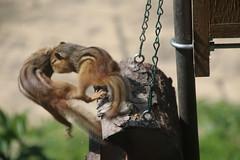 346/365/2902 (May 22, 2016) - Chipmunks at the Birdfeeder (Saline, Michigan) (cseeman) Tags: cute animals furry michigan chipmunk saline birdfeeders project365 yeareightproject365coreys 2016project365coreys 356project2016 p365cs052016
