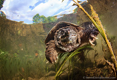 Common Snapping Turtle underwater, Shenandoah River, North Fork (Steven David Johnson) Tags: underwater snappingturtle northfork commonsnappingturtle chelydraserpentina