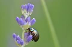 Metallic bug (dfromonteil) Tags: bug insect insecte coloptre lavande lavender purple violet green vert macro bokeh fleur flower nature colors couleurs carapace wow