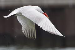 DUD_3824r (crobart) Tags: lake ontario bird birds port caspian erie tern dover