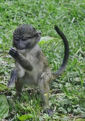 Allen's swamp monkey (Allenopithecus nigroviridis) _DSC0204 (ikerekes81) Tags: baby macro cute animal closeup mammal zoo monkey washingtondc smithsonian dc washington nikon allens national swamp nationalzoo kerekes ik istvan guenon thinktank nikond3200 dczoo allensswampmonkey smithsoniannationalzoologicalpark smithsoniannationalzoo d3200 allenopithecusnigroviridis washingtondczoo oldworldmonkey nigroviridis zoosmithsonian 18105mm allenopithecus sb700 istvankerekes allensswampmonkeyallenopithecusnigroviridis