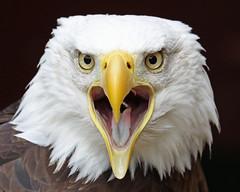 Bald Eagle (Buggers1962) Tags: canon wow zoo baldeagle feathers birdsofprey birdofprey banhamzoo supershot canon7d