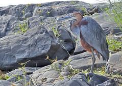 Goliath Heron- Kruger National Park, South Africa (wsweet321) Tags: africa bird nature southafrica mammal birding safari research endangered krugernationalpark kruger satara savanna bigfive skukuza knp lowersabie