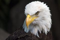 Bald Eagle (RaulCano82) Tags: portrait eye canon zoo texas tx baldeagle beak houston houstonzoo 70d htx raulcano