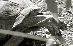 Wild Desert Tortoise (kpgoldman.nature) Tags: wild blackwhite desert wildlife tortoise rare sonorandesert threatenedspecies 2016 dbg deserttortoise threatened kengoldmanphotography