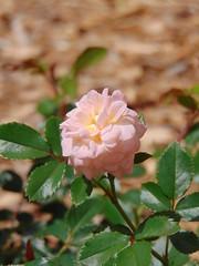 Single Rose (beckyj351) Tags: rose apricot
