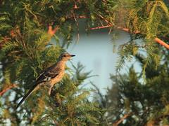 Northern Mockingbird juvenile 20160717 (Kenneth Cole Schneider) Tags: florida miramar westbrowardwca