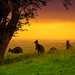 Wallaby Sunset by creativegaz -
