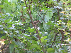 Female Indigo Bunting Bringing Food To The Nest (amyboemig) Tags: summer brown bird june female insect indigo prey songbird bunting indigobunting