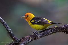 Snacking (seattlebirdman) Tags: liberty northernpygmyowl