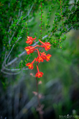 A touch of color (ihikesandiego) Tags: scarlet san mt diego larkspur woodson