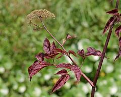 Water Hemlock (Cicuta maculata) (Mary Keim) Tags: taxonomy:binomial=cicutamaculata centralflorida marykeim orlandowetlandspark