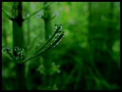 Diving into green (broombesoom) Tags: green nature water rain germany deutschland waterdrop eau wasser natur pflanze vert rainy grn t regen regnerisch wassertropfen equisetumarvense gouttesdeau heilpflanze ackerschachtelhalm naturheilkunde naturopathie naturopathy prle phytotherapie summer2016 sommer2016 phytotheraphy t2016