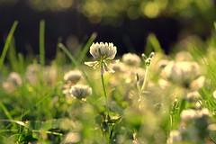 wisdom from weeds (joy.jordan) Tags: clover flowers grass bokeh blur light summer