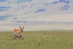Pronghorn Doe with Newborn Fawns - 7602b- (teagden) Tags: wild baby nature photography twins nikon babies wildlife doe fawn newborn antelope fawns naturephotography pronghorn wildlifephotography jenniferhall jenhall pronghorndoe pronghornfawn jenhallphotography jenhallwildlifephotography