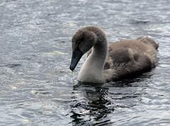 Mute Swan & 3 Cygnets (3) (grahamh1651) Tags: newlyn newlynharbour tolcarne birds seabirds gulls swans waders shorebirds
