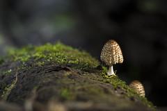 Fungos! (Jonathan Johnny) Tags: macro mushroom natureza cogumelo fungo