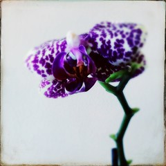 (~ siko sn ~) Tags: hipstamatic orchids orchid