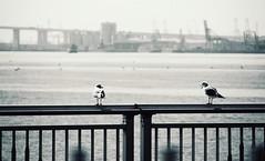 : Sea Birds (Jon-F, themachine) Tags: snapseed japan  nihon nippon   japn  japo xapn asia  asian fareastorient oriental aichi   chubu chuubu   nagoya   minatoku minatoward   nagoyaport portofnagoya bodyofwater bodiesofwater  waterside waterfront water bay   isewan jonfu 2016 olympus omd em5markii em5ii  mirrorless mirrorlesscamera microfourthirds micro43 m43 mft ft
