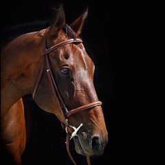 Sweet Tea (is it schwarm in here) Tags: crosby offtrack ottb horse thoroughbred bay