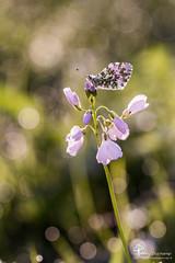 L'Aurore fait le printemps (photosenvrac) Tags: portrait macro nature bokeh flare aurore cardamine thierryduchamp