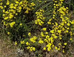 Golden Yarrow, (Eriophyllum confertifolium).jpg (dfosket) Tags: fallbrook goldenyarrow santamargaritarivertrail eriophyllumconfertifolium may2011
