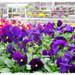 Pansies at the garden center