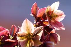 Julrosor (evisdotter) Tags: flowers macro backlight ngc npc blommor helleborus motljus sooc julrosor
