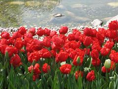 IMG_5896 (Gkmen Kmrt) Tags: tulips tulip 2014 emirgan laleler