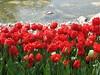 IMG_5896 (Gökmen Kımırtı) Tags: tulips tulip 2014 emirgan laleler