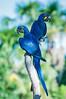 "Hyacinth Macaw <a style=""margin-left:10px; font-size:0.8em;"" href=""http://www.flickr.com/photos/41134504@N00/17161547910/"" target=""_blank"">@flickr</a>"