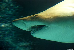 Sand Tiger Shark - Carcharias taurus (HGHjim) Tags: shark taurus tigershark carcharias sandtigershark carchariastaurus greynurseshark spottedraggedtoothshark bluenursesandtiger