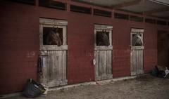 Horse peekaboo. (Robban.W) Tags: horse nikon sweden peekaboo nikkor stable d800 barva hst dressage tvling hstar sdermanland steri 1424 dresyr nsbyholm nsbyholmsteri