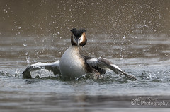 Life is the bubbles (Sadloafer) Tags: lake bird nature wet water animal horizontal outdoors photography day wildlife preening feather waterbird nopeople drop clean lucerne hygiene grebe splashing animalsinthewild greatcrestedgrebe oneanimal