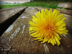 wildflowers (skistar64) Tags: outside krnten carinthia wildflowers springtime frhling pisweg daham wiesenblumen drausen