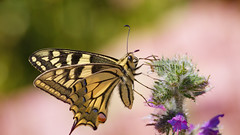 Le Machaon, le Grand Porte-Queue (Papilio machaon)