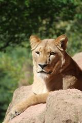 Lion (Nougat511) Tags: animals canon zoo lion lions bigcats thelionking teamcanon