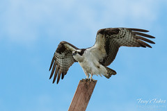 Male Osprey landing sequence - 11 of 13