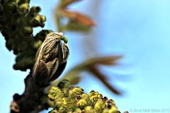 WALNOOT MANNELIJKE BLOESEM || WALNUT (Anne-Miek Bibbe) Tags: garden blossom walnut nederland jardin jardim tuin garten bloesem giardino 2015 walnsse noyer walnoot juglansregia bibbe annemiekbibbe canoneos700d okkernoot walnootboom canoneosrebelt5idslr