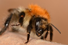Bee (Shane Jones) Tags: macro bug insect nikon bee bumblebee macrolicious tamron180mmmacro macrophotosnolimits macromarvels macrolife d7000 pk3extensiontube pk3x2