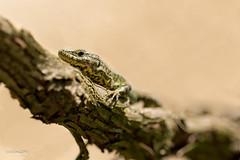 Lizard (gabrielegalloni) Tags: natura lizard uva ramo animali lucertola