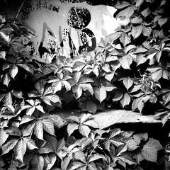 Foliage (StyxD) Tags: bw 6x6 tlr torino ilfordhp5 lubitel biancoenero