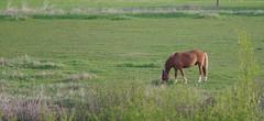 Equus caballus (Wanha-Erkki, Old Eric, Gammal Erik, ) Tags: horse hevonen equuscaballus suomenhevonen