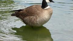 Cackling Goose (rudeyard) Tags: anseriformes cacklinggoose brantahutchinsii cago aleutiancacklinggoose bhleucopareia