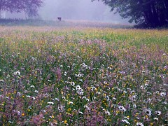 2016-05-26 misty (83)blooming meadow (april-mo) Tags: wood mist nature misty spring wildflowers clearing blooming fleurssauvages clairire
