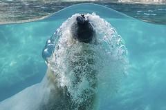 under the dome (ucumari photography) Tags: bear blue water animal mammal zoo oso nc north bubbles polarbear carolina nikita eisbr ursusmaritimus oursblanc osopolar ourspolaire orsopolare specanimal ucumariphotography sbjrn dsc9979