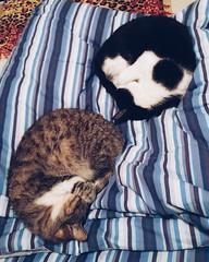 Ciambelle (alessiabii) Tags: cats pets amore gatti animali letto minou buonanotte ciambelle tenerezza trilli oradellananna