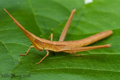 Long-headed Toothpick Grasshopper (Acrididae: Achurum carinatum) (YM Zhang) Tags: long toothpick grasshopper headed acrididae carinatum achurum